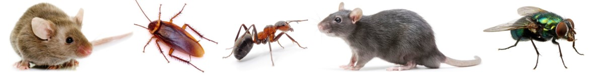 Common pests in Staten Island, New York and the boroughs of NYC include, Mice, Cock Roaches, Ants, Rats and Flies
